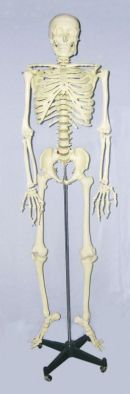 Model, Skeleton with frame, life size - ISG