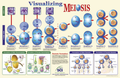 Poster: Visualising Meiosis (Laminated)