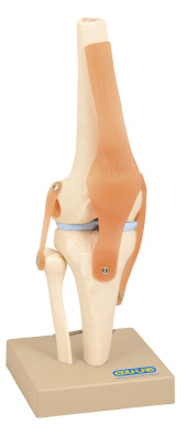 Model, Human Knee Joint - on base