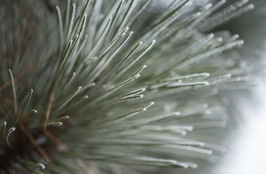 Pine tree needles on winter closeup