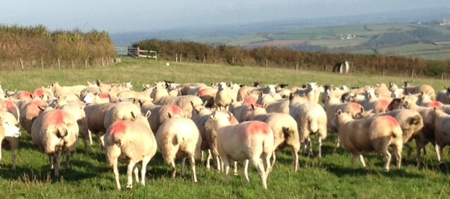 2 ewes tupping - Copy