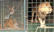 caged_lions_tigers-486002