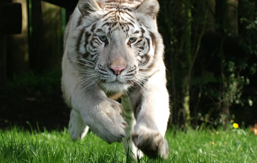 get close to white tigers in hertfordshire - paradise wildlife park
