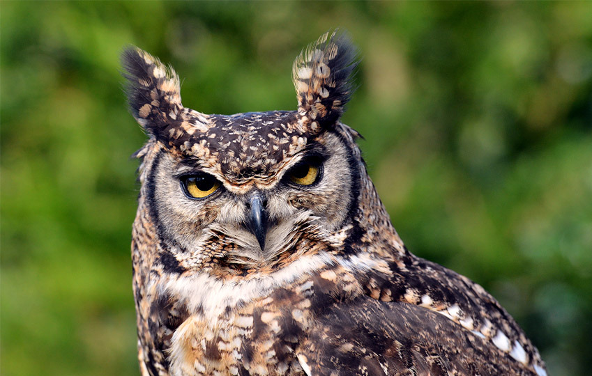 spotted-eagle-owl-1