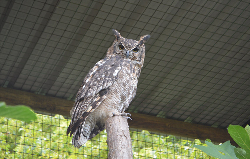 spotted-eagle-owl-2