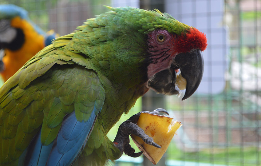 Military-Macaw-2