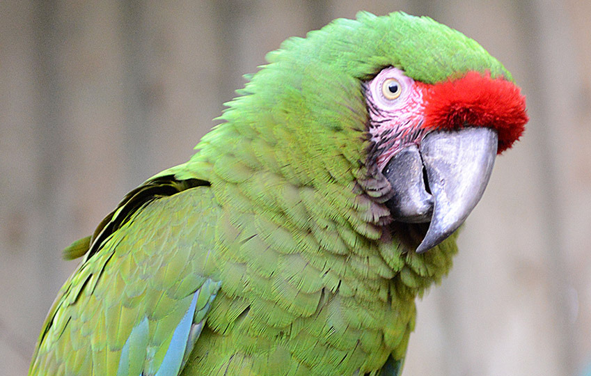 Military-Macaw-6