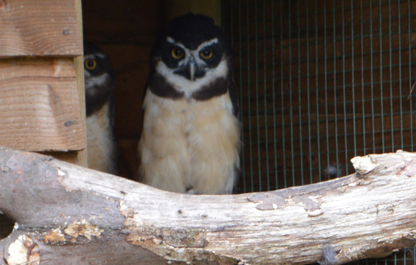 Spectacled-Owl-1