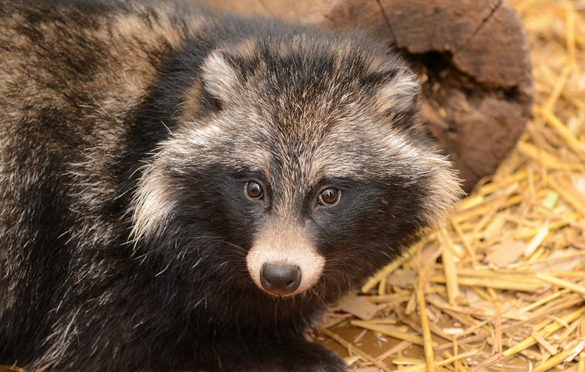Raccoon-dog-2