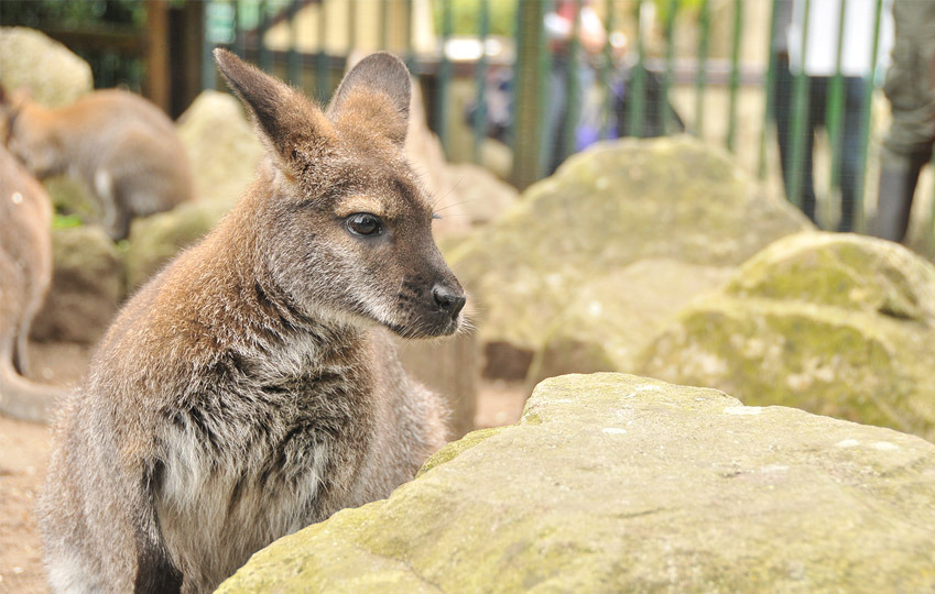 Red-Knecked-Wallaby-2