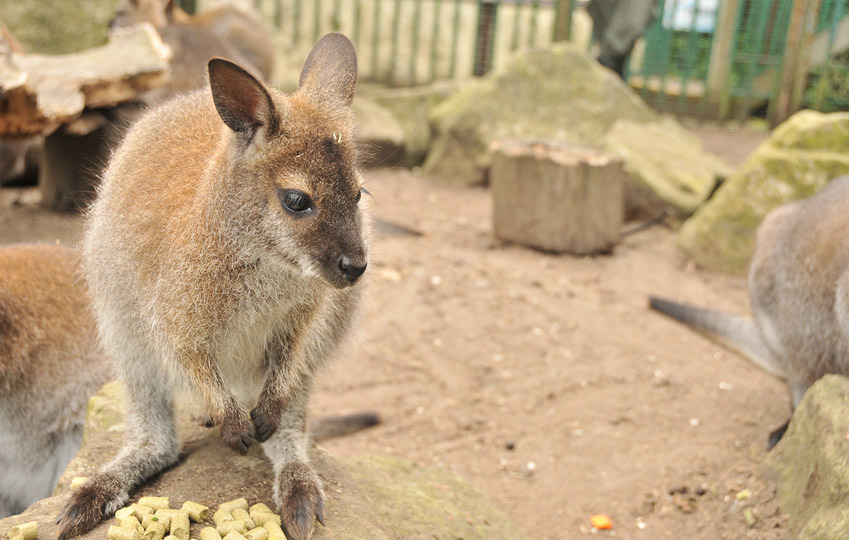 Red-Knecked-Wallaby-3