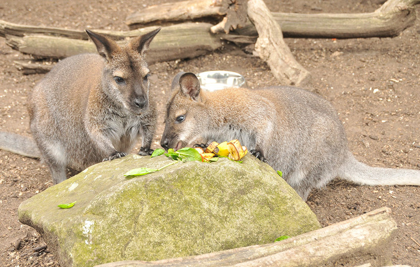 Red-Knecked-Wallaby-4