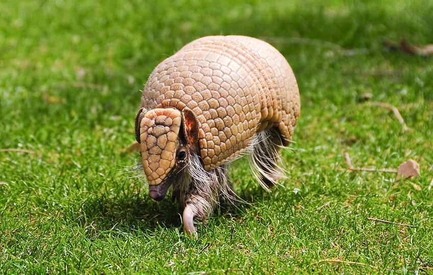 Three-Banded-Armadillo-3