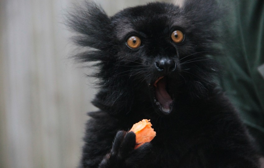 Black lemur with carrot