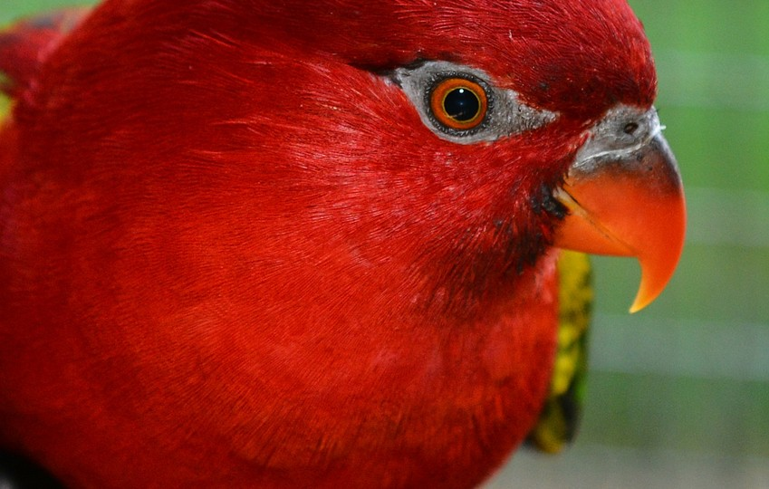 Chattering Lory 3