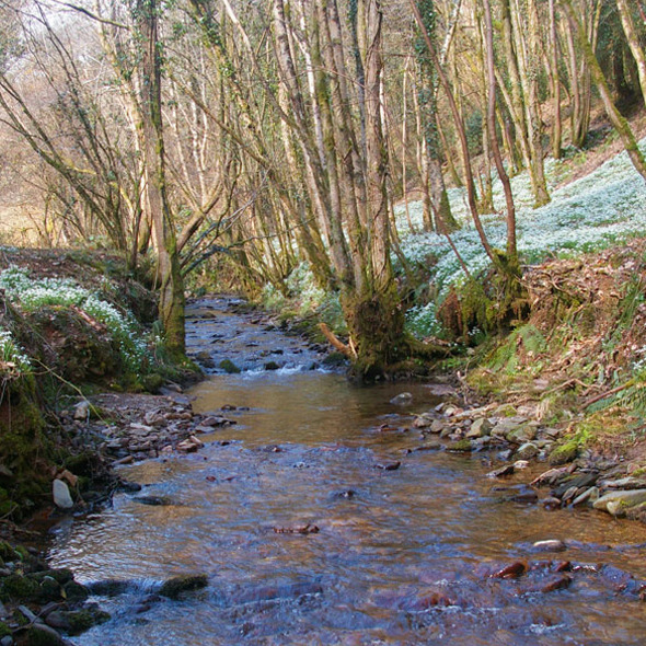 Snowdrop Valley (River Avill)