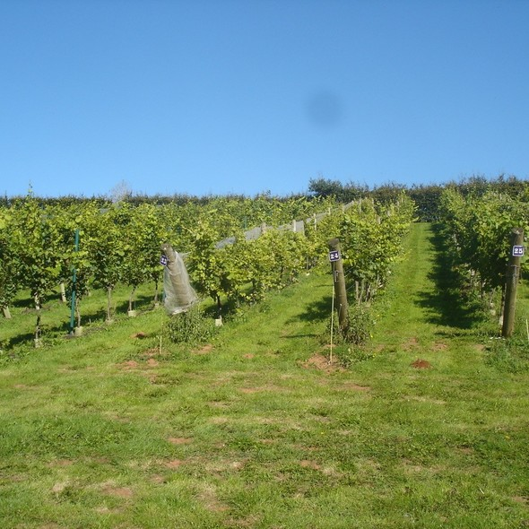 Wellhayes Vineyard